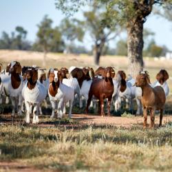 goats-central-west-farm
